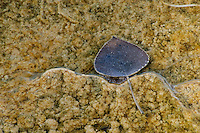 Calcifying aspen leaf in hot spring pool; Mammoth Hot Springs Terraces, Yellowstone NP., Wyoming