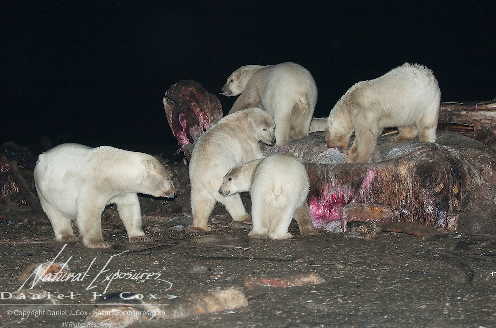 Polar Bears feeding on the carcass of a Bowhead Whale (Balaena mysticetus). Kaktovik, Alaska