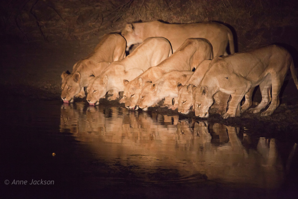 Seven lionesses at the waterhole