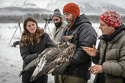 "Steve Lewis, Raptor Management Coordinator, U.S. Fish & Wildlife Service (center) prepares to open the wings of a juvenile bald eagle (Haliaeetus leucocephalus) so it may be photographed. Photos of a juvenile bald eagle's molting, particularly in the head and tail feathers, can help determine its age before it reaches maturity due to the sequential molting pattern eagles experience during the first five years of their life. Rachel Wheat, a graduate student at the University of California Santa Cruz (left), is conducting a bald eagle migration study of eagles that visit the Chilkat River for her doctoral dissertation. She hopes to learn how closely eagles track salmon availability across time and space. The bald eagles are being tracked using solar-powered GPS satellite transmitters (also known as a PTT - platform transmitter terminal) that attach to the backs of the eagles using a lightweight harness. Assisting is Dr. Chris Wilmers, associate professor, University of California Santa Cruz (right). Watching the procedure is Dr. Taal Levi, wildlife ecologist, Cary Institute of Ecosystem Studies (second from left). The latest tracking location data of this bald eagle known as ""2Z"" can be found here: http://www.ecologyalaska.com/eagle-tracker/2z/ . During late fall, bald eagles congregate along the Chilkat River to feed on salmon. This gathering of bald eagles in the Alaska Chilkat Bald Eagle Preserve is believed to be one of the largest gatherings of bald eagles in the world."
