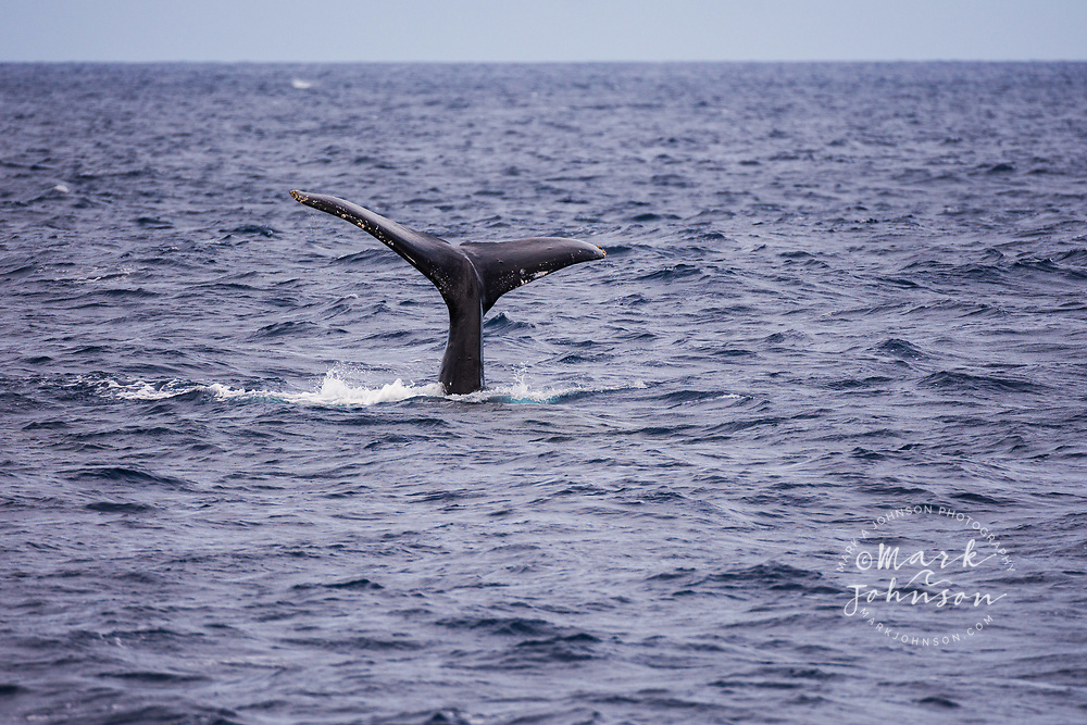 Humpback whale fluke (tail), off of Niihau, Hawaii