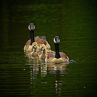Two + Two Synchronized Swim. Two Canadian Geese + Two Goslings. Sourland Mountain Preserve in New Jersey. Image taken with a Nikon D2xs and 80-400 mm VR lens (ISO 160, 280 mm, f/4, 1/250 sec). .