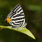 Spindasis syama, Club Silverline Butterfly. Khao Yai National Park, Thailand