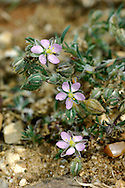 SAND SPURREY Spergularia rubra (Caryophyllaceae) Prostrate. Straggling, stickily hairy annual or biennial. Found dry, sandy ground. FLOWERS are pink and 3-5mm across; 5 petals are shorter than sepals (May-Sep). FRUITS are capsules. LEAVES are grey-green, narrow and bristle-tipped; borne in whorls with silvery, lanceolate stipules. STATUS-Widespread and locally common.