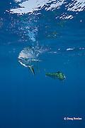 dorado, mahi mahi, or dolphin fish, Coryphaena hippurus, in silver and golden color phases, off Isla Mujeres, near Cancun, Yucatan Peninsula, Mexico ( Caribbean Sea )