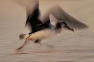 Laysan albatross juvenile attempting flight,  Phoebastria immutabilis, Hawaiian Leeward Islands