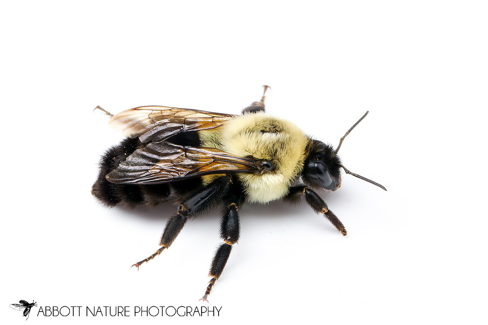 Common Eastern Bumble Bee (Bombus impatiens)<br /> WISCONSIN: Rusk Co.<br /> Chippewa River on Hwy 8; Bruce<br /> 45.45238, -91.26037  13-Jun-2014<br /> J.C. Abbott #2668 &amp; K.K. Abbott