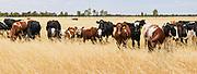 cows in field of long golden dry grass near Mitiamo, Victoria, Australia