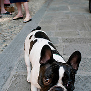 The streets of Montrosso in the village of the Cinque Terre region of Italy  are very narrow and and oftentimes cars, people, and dogs share the cobblestone pathways. This Boston Terrier was walking down one of the cobblestone paths.