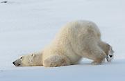 A polar bear (Ursus maritimus) practices his downward dog.