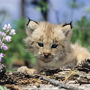 Canada Lynx (Lynx canadensis) kitten during the spring in Montana. Captive Animal
