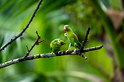 Two Orange-chinned Parakeets (Brotogeris jugularis) perched on a branch, interacting, Photographed in the wild, Costa Rica, Central America.