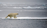 Polar Bear (Ursus maritimus) entering drift ice at 81 degrees north off Spitsbergen, Svalbard.