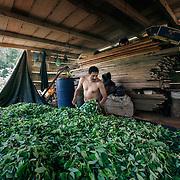 Guillermo Pangoa, agricoltore di Pichari, Vraem. Mescola le foglie di coca appena raccolte per evitare che macerino.<br /> <br /> Guillermo Pangoa, farmer Pichari, Vraem. Mix coca leaves to prevent them from rotting.