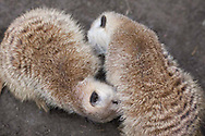 Two meercats groom each other at the San Diego Zoo