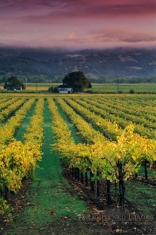 Sunrise light on vineyards, Geyserville, Alexander Valley, Sonoma County, California