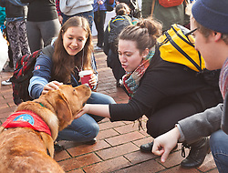 Rohan, a Labrador Retriever therapy dog visiting campus to help take away stress for leading into finals week at PLU on Friday, Dec. 12, 2014. (Photo/John Froschauer)