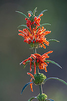 Wild Dagga Flowers, Stanford, Western Cape, South Africa