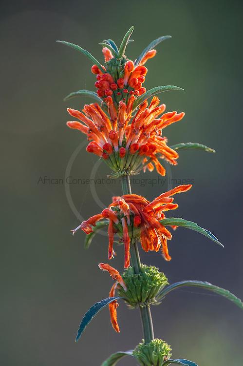 Wild Dagga Flowers, Stanford, Western Cape, South Africa