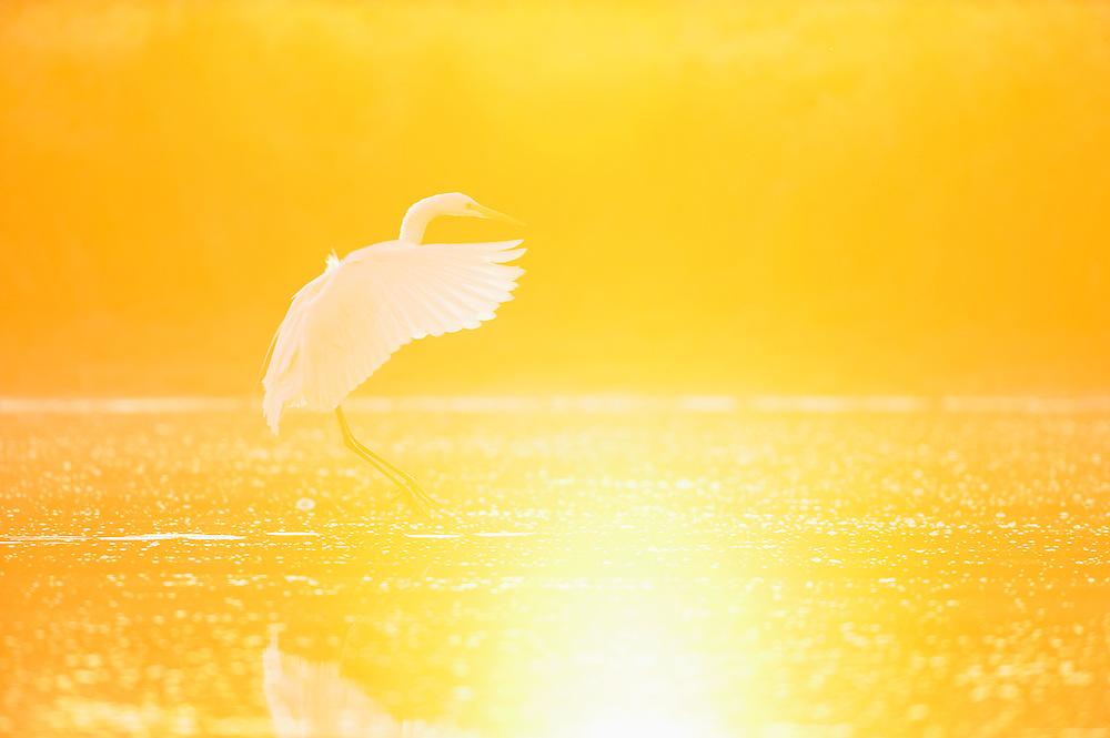 Mission: Black Storks River Elbe Germany; Biosphärenreservat Niedersächsische Elbtalaue; Biosphere Reserve Middle Elbe; Silberreiher; Great White Egret; Casmerodius albus