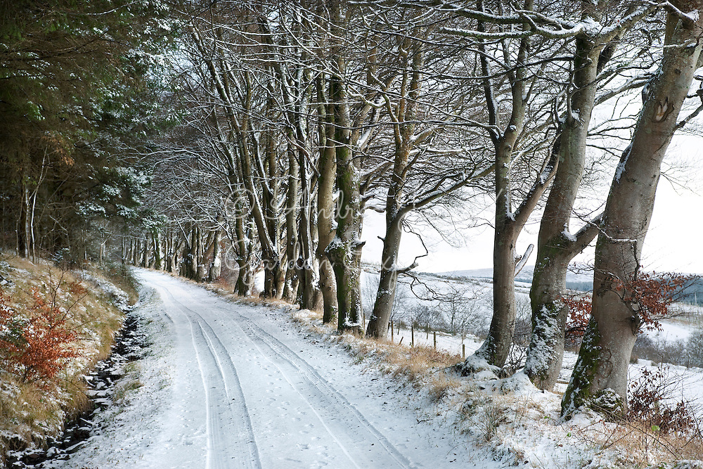 Road covered with winter snow and sheltered by beech trees leading to High Changue, Barr, Ayrshire, Scotland.