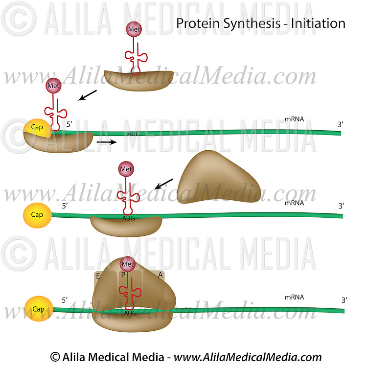 Protein Synthesis Initiation Alila Medical Images