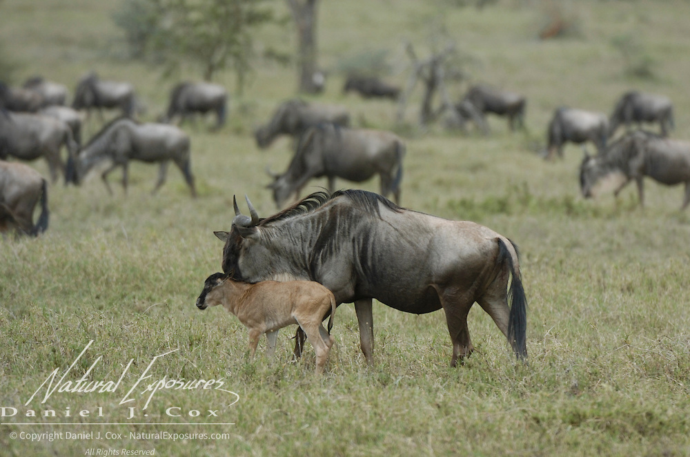 Wildebeest (Connochaetes taurinus) mother with a newborn calf during migration in Serengeti National Park, Tanzania, Africa.