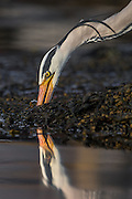 Gray Heron se itself when catching fish | Gråhegre ser seg selv når den fanger fisk.