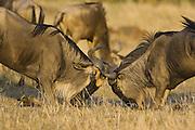 Wildebeest<br /> Connochaetes taurinus <br /> Bulls fighting<br /> Masai Mara Conservancy, Kenya