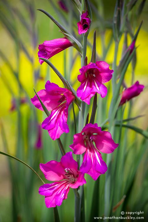 Gladiolus communis subsp. byzantinus AGM. Byzantine gladiolus