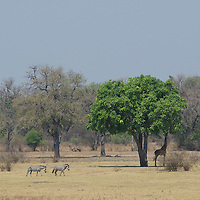 Zebra crossing savanna and giraffe grazing under a sausage tree.