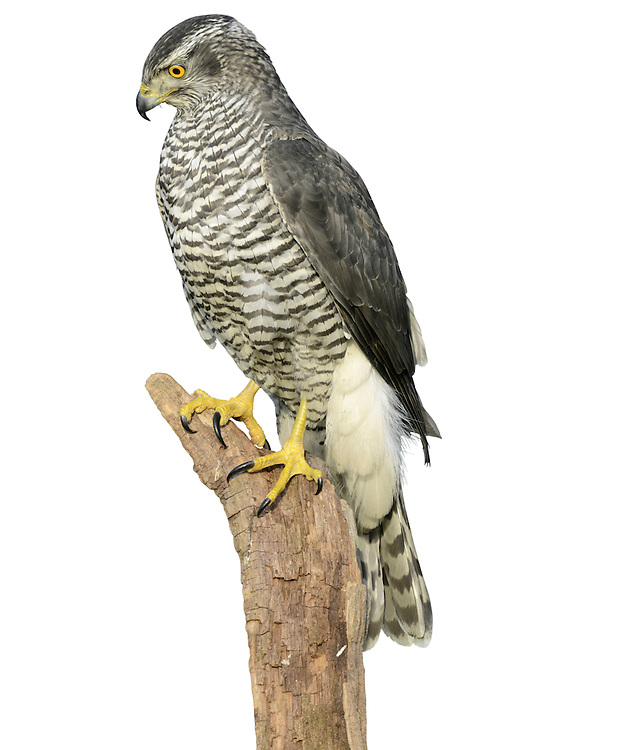 Goshawk Accipiter gentilis W 100-115cm. Impressive, buzzard-sized raptor. In flight, note broad, rounded wings and relatively long but thickset barred tail. Soaring birds fan their tails and splay white, fluffy, undertail. Close view (an unusual event) reveals orange eye, yellow legs and feet, and striking pale supercilium. Xexes are similar but male is smaller than female. Adult has mainly grey-brown upperparts; pale underparts are marked with fine dark barring. Juvenile has brown upperparts; buffish underparts are marked with dark, teardrop-shaped spots. Voice Utters a harsh kie-kie-kie in breeding season. Status Scarce but easily overlooked. Favours wooded habitats with adjacent open country.