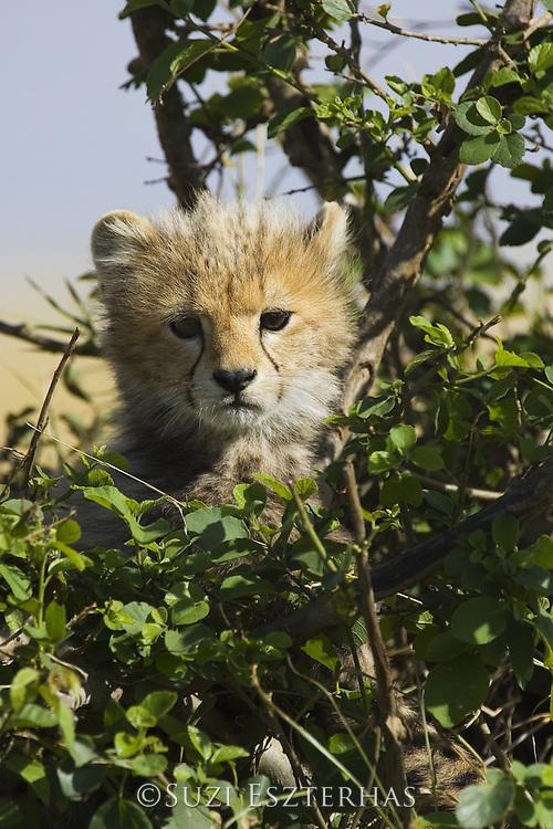 Cheetah<br /> Acinonyx jubatus<br /> 10-12 week old cub (s) in tree<br /> Maasai Mara Reserve, Kenya