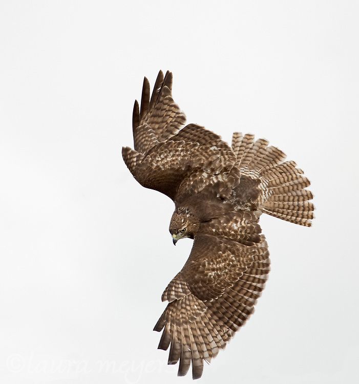 Red-tailed Hawk in flight taking off with pale blue sky background.