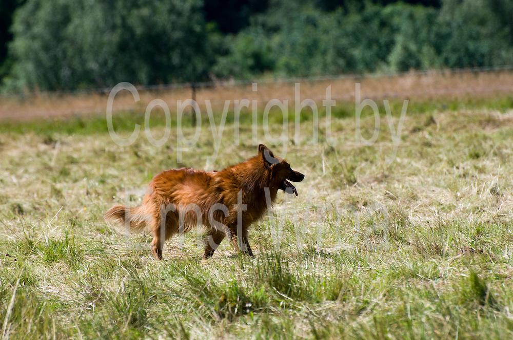 Hütehund Harzer Fuchs, Tanne, Harz, Sachsen-Anhalt, Deutschland   sheepdog Harzer Fuchs, Tanne, Harz, Saxony-Anhalt, Germany