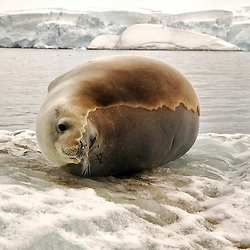 Seal molting over the ice, Antarctica