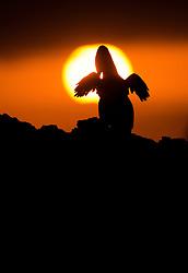 Flightless Cormorant (Phalacrocorax harrisi) in Isabela, Galapgos