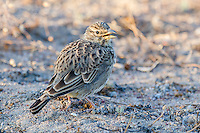 Large-Billed Lark, Namaqua National Park, Northern Cape, South Africa,