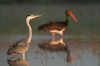 Grey Heron (Ardea Cinerea) and Black Stork (Ciconia Negra) in the fishery pond around Prypiat area, Belarus