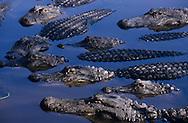 Vereinigte Staaten von Amerika, USA, Florida: amerikanischer Mississippi-Alligator (Alligator mississippiensis). Eine Gruppe von Alligatoren im Wasser. | United States of America, USA, Florida: American Alligator, Alligator mississippiensis, group in water. |