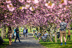 © Licensed to London News Pictures. 09/04/2020. London, UK. People and couples, all spaced more than two metres apart, enjoy blossoming cherry trees in Greenwich Park. The government has asked that people continue to follow the public health guidance over the Easter Weekend, when further warm weather is expected. Photo credit: Rob Pinney/LNP