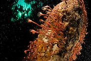 Oaten pipes hydroid (Tubularia indivisa), Atlantic Ocean, Strømsholmen, North West Norway | Vor der norwegischen Küste wird das sogenannte Hartsubstrat, also fester Untergrund aus verschiedensten Materialien, zum Teil von einzelnen Stielen des Ungeteilten Röhrenpolypen (Tubularia indivisa) besiedelt. Die in die Strömung ausgestreckten Tentakeln dienen durch Einfangen von Plankton dem Nahrungserwerb.