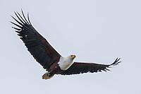 African Fish Eagle in flight, Gorongosa National Park, Inhambane Province, Mozambique