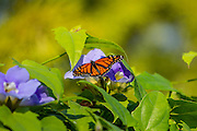 Male Monarch butterfly on Clematis bloom at Mercer Arboretum, Houston, Texas in autumn.
