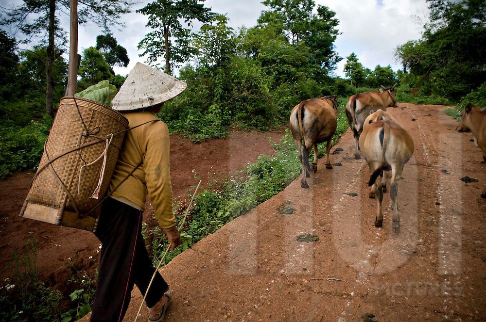 Vietnamese woman and her cattle along a trail in Pleiku area, Vietnam, Southeast Asia