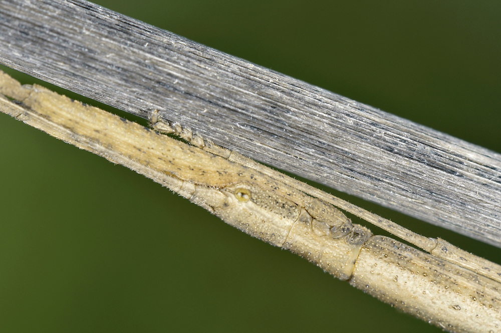 Laboratory Stick Insect - Carausius  morosus