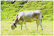 Cow Grazing in a meadow. Full body