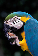Portrait of a blue and yellow macaw (Ara ararauna) eating a raw nut. Native to Eastern Panama to NE Brazil. Captive in Portland, Oregon.
