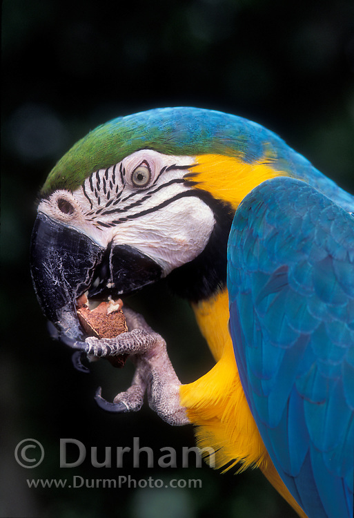 Portrait of a blue and yellow macaw (Ara ararauna) eating a raw nut. Native to Eastern Panama to NE Brazil. Captive in Portland, Oregon.