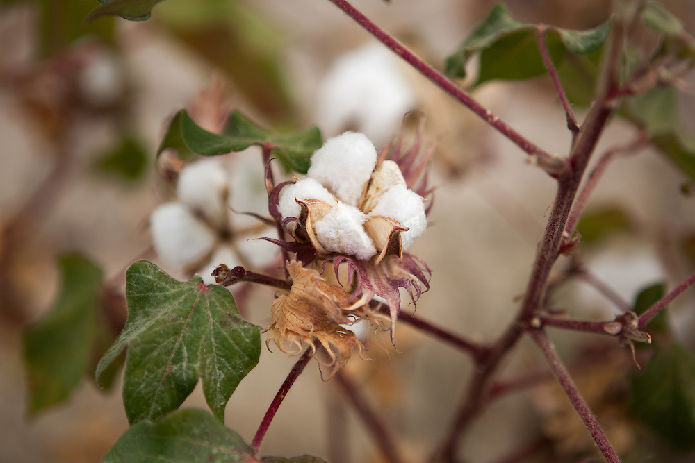 Close-up of cotton growing in a Turkmenistan field